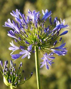 Агапантус Многолетники средняя почва многолетние растения цветы голубой