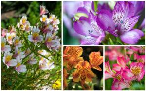 Альстрёмерия Многолетники средняя почва многолетние растения цветы разноцветные