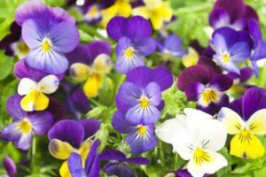 Анютины глазки однолетники двулетники цветы однолетние двулетние растения сад разноцветная