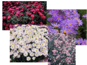 Астра ромашковая Многолетники средняя почва многолетние растения цветы разноцветные