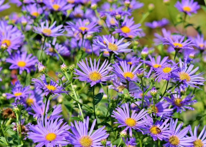астра Сад Цветы