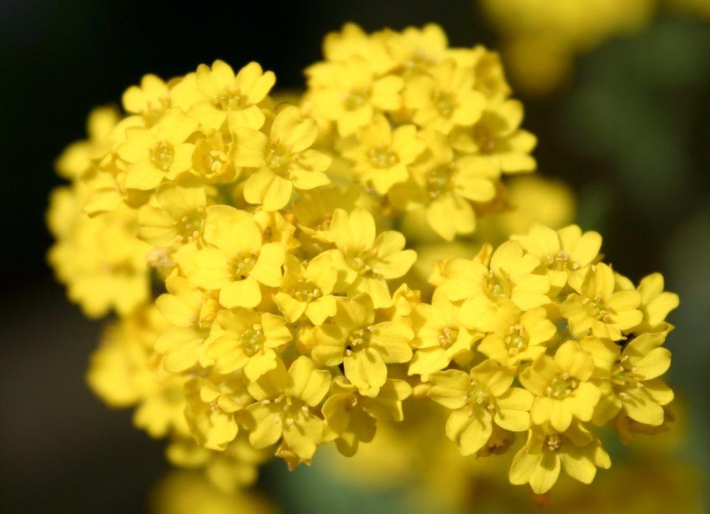 Ауриния скальная Многолетники средняя почва многолетние растения цветы желтая