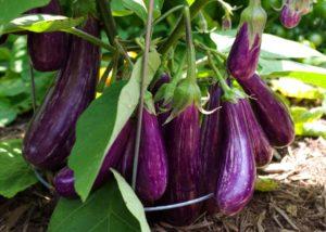 Как выращивать овощи баклажаны сиреневые полосатые урожай