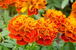 бархатцы однолетники цветы однолетние растения сад