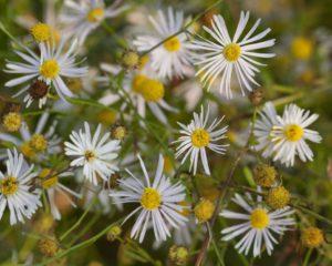 Болтония астровидная Многолетники средняя почва многолетние растения цветы белая