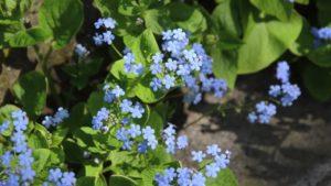 Бруннера крупнолистная Многолетние растения растущие в полной тени полутень полное солцне