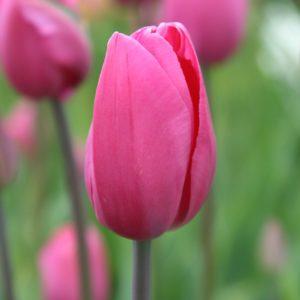 Многолетние луковичные бутон тюльпан