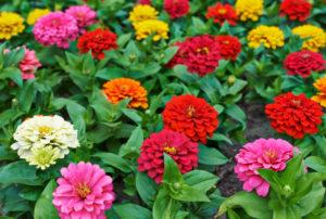 цинния однолетники цветы однолетние растения сад