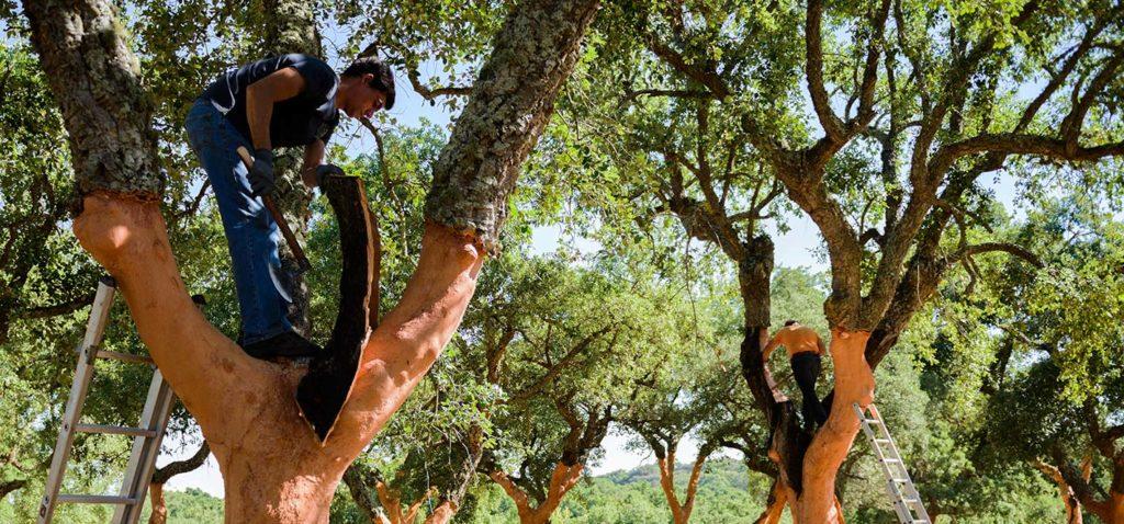 пробка кора снятие пробковый дуб дерево
