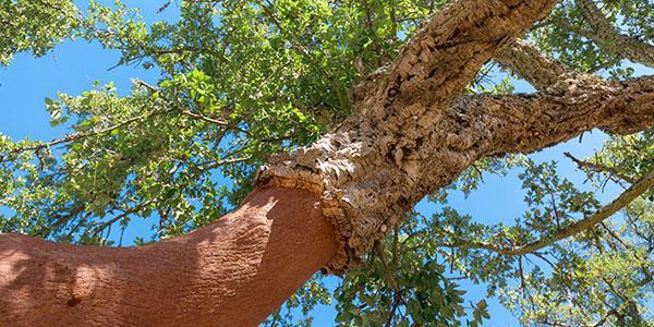 пробковый дуб пробковое дерево пробка