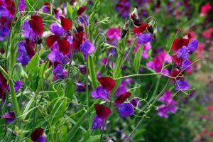 Душистый горошек однолетники двулетники цветы однолетние двулетние растения сад разноцветный