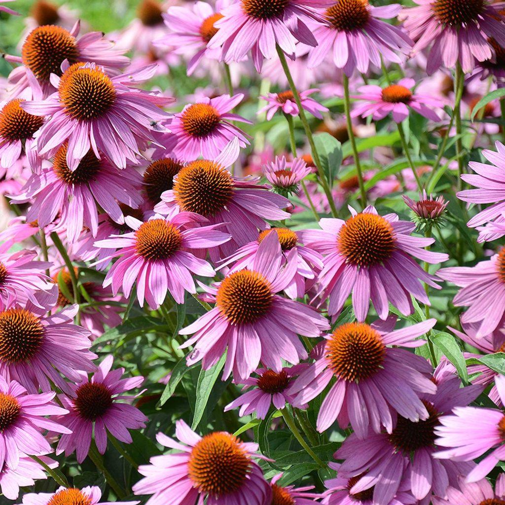 Эхинацея пурпурная Многолетники средняя почва многолетние растения цветы сиреневая