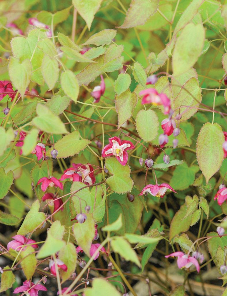 Эпимедиум крупноцветковый почвопокровные Горянка крупноцветковая Сад Цветы