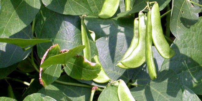Как выращивать овощи сорт лима фасоль стручки