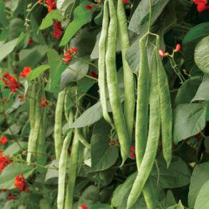 Как выращивать овощи фасоль огненно-красная стручки