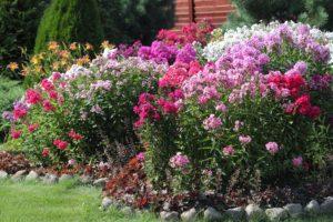 флокс Многолетники средняя почва многолетние растения цветы разноцветные