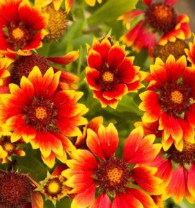 Гайлардия Многолетники средняя почва многолетние растения цветы оранжевая