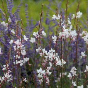 Гаура Линдхеймера Многолетники средняя почва многолетние растения цветы белая