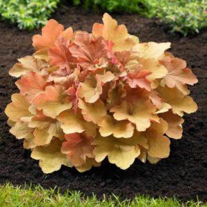 Гейхера Многолетники средняя почва многолетние растения цветы влажная песчано-глинистая