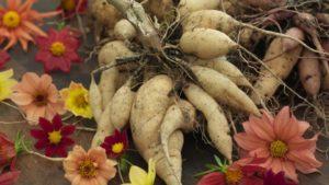 Многолетние луковичные клубни георгина цветок корни