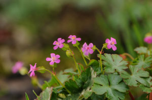 Герань луговая Многолетники средняя почва многолетние растения цветы разноцветные