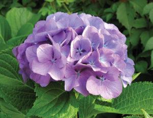 Гортензия крупнолистная Сад цветущие ароматные Кустарники