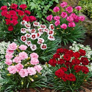 гвоздика Многолетники средняя почва многолетние растения цветы разноцветные