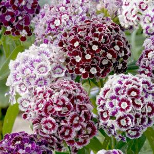гвоздика турецкая однолетники двулетники цветы однолетние двулетние растения сад