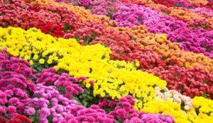 хризантема Многолетники средняя почва многолетние растения цветы разноцветные
