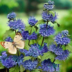 Кариоптерис Spirea Heavenly Blue Ландшафтный дизайн кустарник