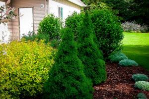 карликовая ель Сад хвойные вечнозеленые Кустарники