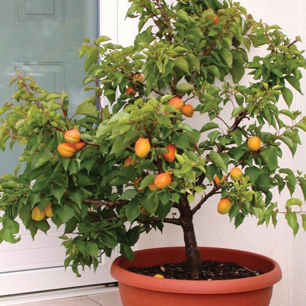 карликовое дерево персик гном