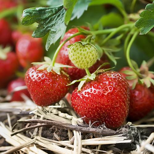 клубника ягоды фрукты вырастить солома урожай