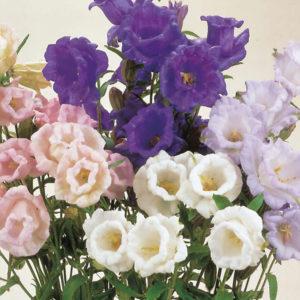 """колокольчик Canterbury Bells сорта """"Cup & Saucer"""" двулетники цветы двулетние растения сад"""