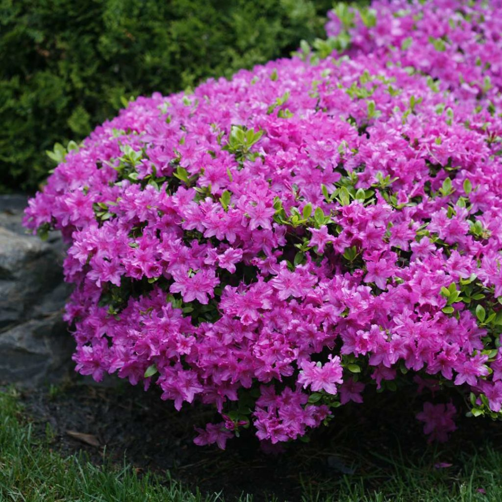 Компактные азалии, Рододендрон Сад цветущие Кустарники