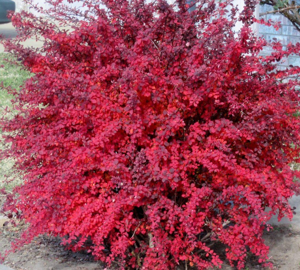 что, кусты с красными листьями фото и названия удачно расположился втором