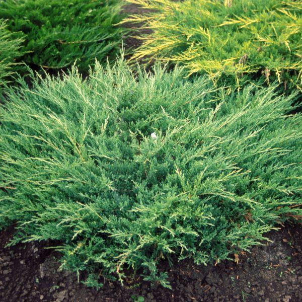 компактный можжевельник Сад хвойные вечнозеленые Кустарники