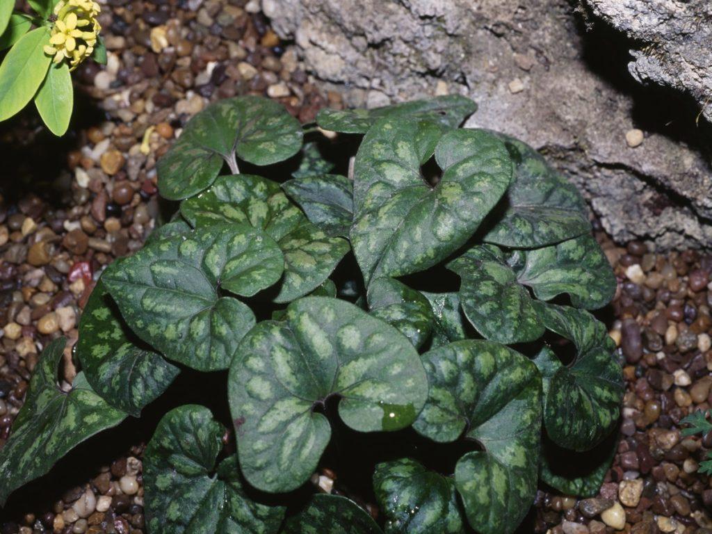 Сад почвопокроные растения копытень