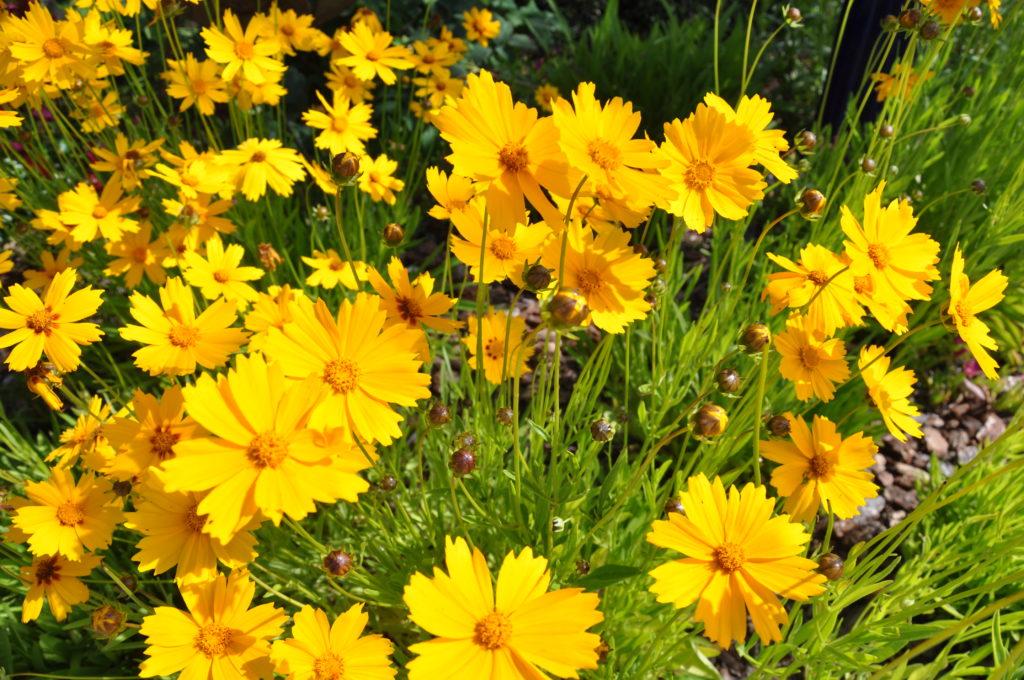 Кореопсис мутовчатый Многолетники средняя почва многолетние растения цветы желтый