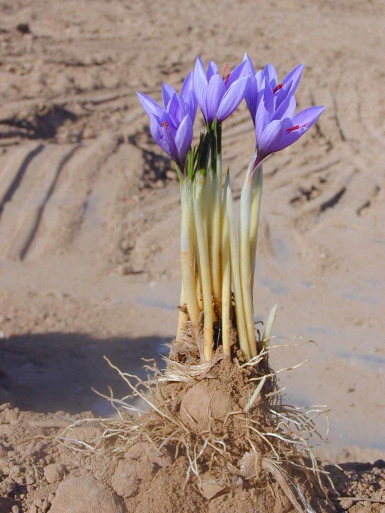 Многолетние луковичные крокус клубнелуковица земля цветок
