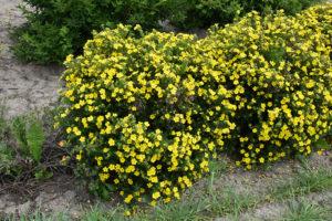 лапчатка Сад цветущие Кустарники
