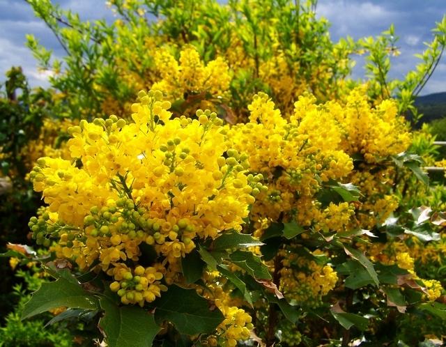 Магония Сад цветущие Кустарники