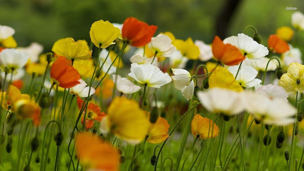 мак Многолетники средняя почва многолетние растения цветы разноцветные