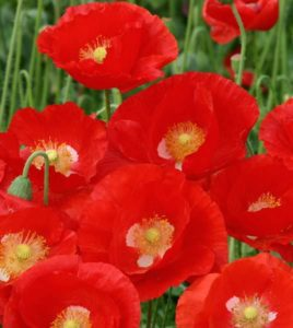мак самосейка красный однолетники двулетники цветы однолетние двулетние растения сад