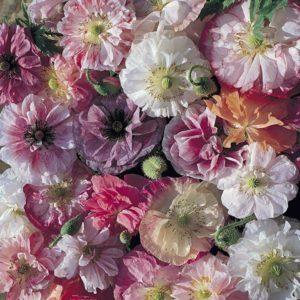 однолетники двулетники цветы однолетние двулетние растения сад мак самосейка