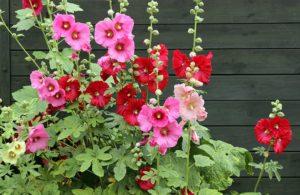 мальва двулетники цветы двулетние растения сад