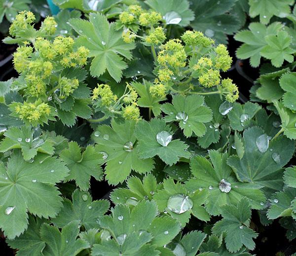 Мнажетка Многолетники средняя почва многолетние растения цветы влажная песчано-глинистая