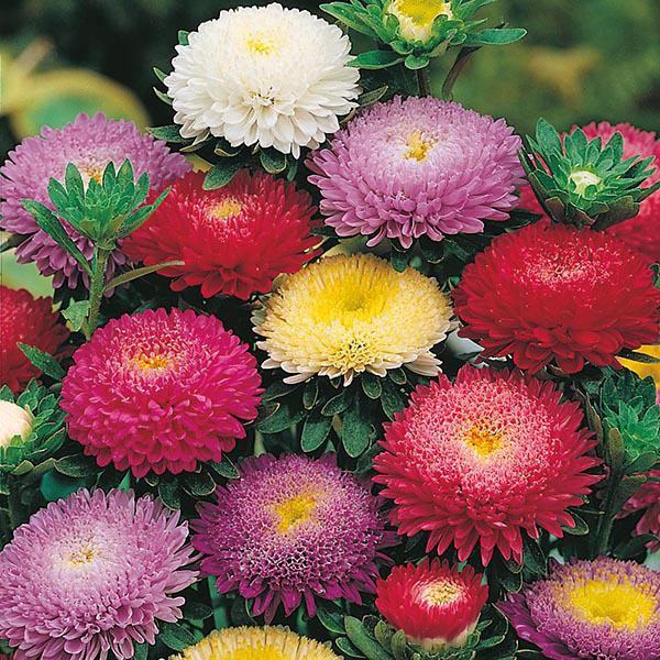 Многолетние цветы для вашего сада астра разноцветные бутон