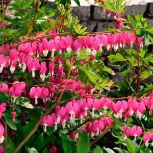 Дицентра (Dicentra) Многолетние цветы для вашего сада розовая