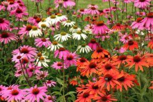 Многолетние цветы для вашего сада Эхинацея пурпурная красная розовая белая